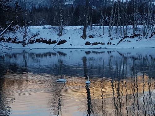 z - resize - Wildlife - swans